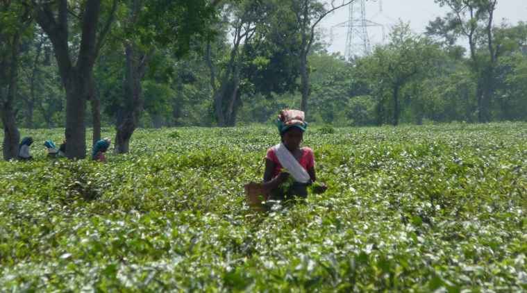 A Look Inside Tata-World Bank Plantations